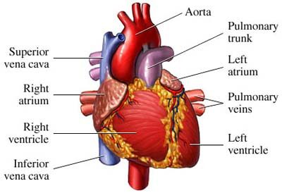 Heart diagram matching download wiring diagrams gender matching in heart transplantation leads to long term survival rh topnews in heart diagram matching quiz cause and effect diagram ccuart Choice Image