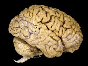 Conductor of speech uncovered in human brain