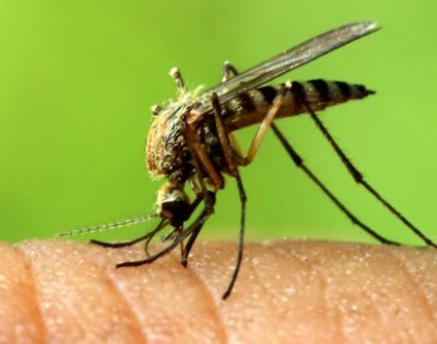 Modified mosquitoes can halt malaria spread