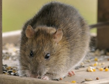 Rats can cause health threats to poultry, humans: Study