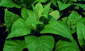 GM tobacco plants can fight drug-resistant malaria
