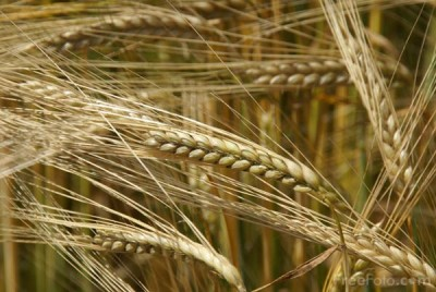 Eat barley to beat diabetes risk
