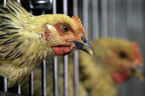 bird flu crisis in hong kong Mutation in a dominant flu strain might be the reason behind a surge of cases in hong kong this  mutation may be behind surge in flu cases this summer, hong kong.