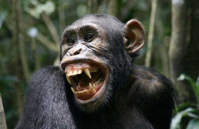 chimpanzee-cumshot-clips-free