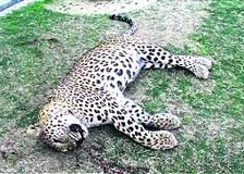Female leopard found dead in Uttarakhand''s Corbett National Park