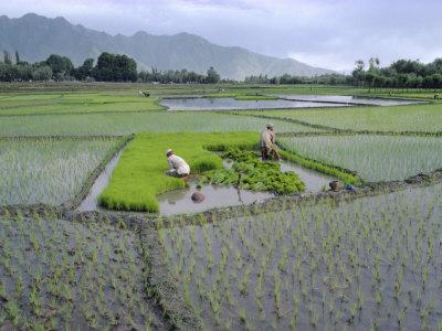 Amid autumn magic, Kashmiri farmers harvest gold