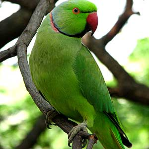 Indian Green Parrot Baby jungle life: gr...