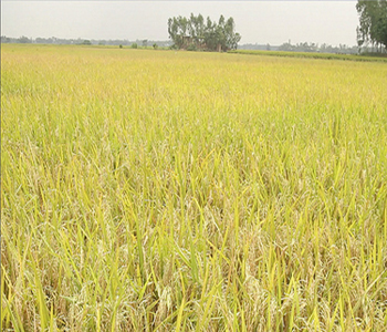 Rice production to outpace consumption in 2013: FAO