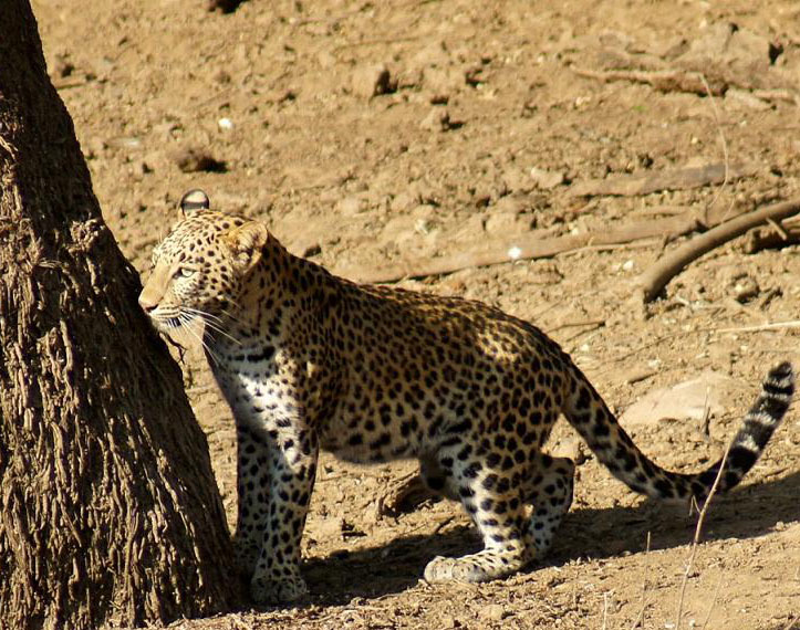 Rajasthan to constitute panther conservation panel