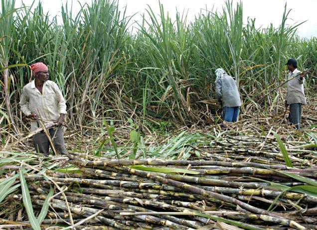 Serious shortage of sugarcane seed next season: Expert | TopNews