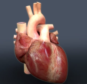 3D atlas of human heart created