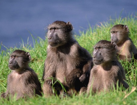 'Democratic' baboons travel together in troops