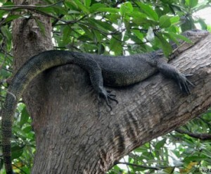 Crocodiles are capable of climbing trees