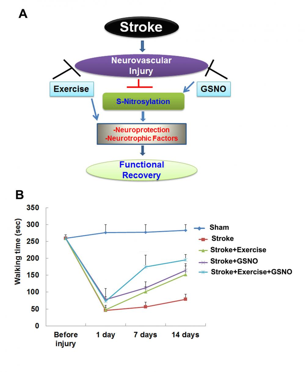 Exercise and neuroprotective agent combo may accelerate stroke recovery