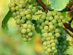 Grapes may help stave off age-related visual degeneration