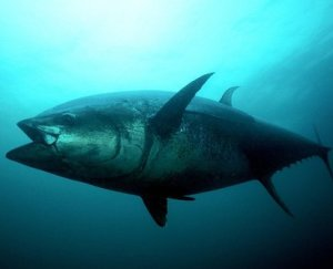 Gulf of Mexico oil spill may give tunas heart attacks