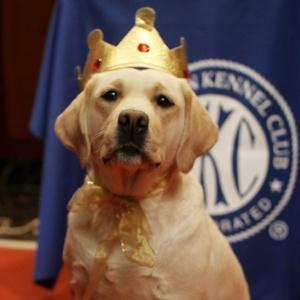 Labrador Retriever crowned US' most popular dog for 22nd year in row
