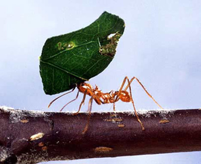 To put the strength of a leaf cutter ant in perspective, an ant lifting that leaf is analagous to a human carrying an elephant on its shoulders.  Source: http://topnews.in/usa/files/Leaf-cutter-ants.jpg
