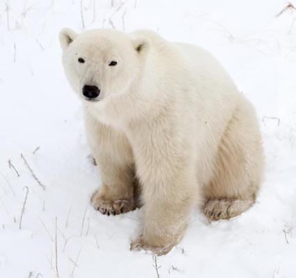 Key to healthy heart hidden in obese polar bears!