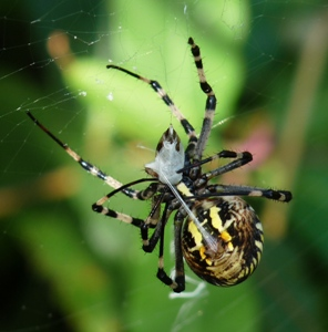 Spider silk inspires stronger adhesives