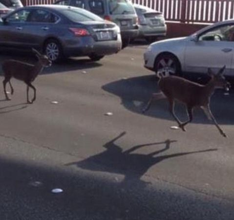 Two deer tie up traffic on Golden Gate bridge