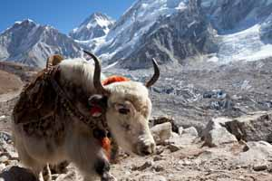 Yak genome sheds new light on high altitude adaptation