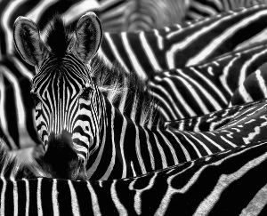 Zebras' iconic thick, black stripes may be more for cooling than camouflage