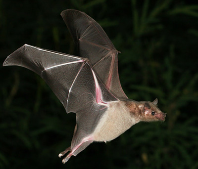 How bats fine-tune flight with tiny muscles