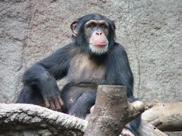 Humans are cancer prone, but chimps are not