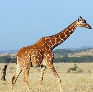 How giraffes stay upright on 'spindly legs' revealed