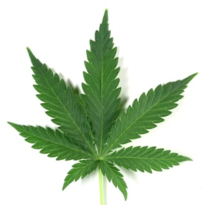 Americans think marijuana poses less threat than alcohol or tobacco