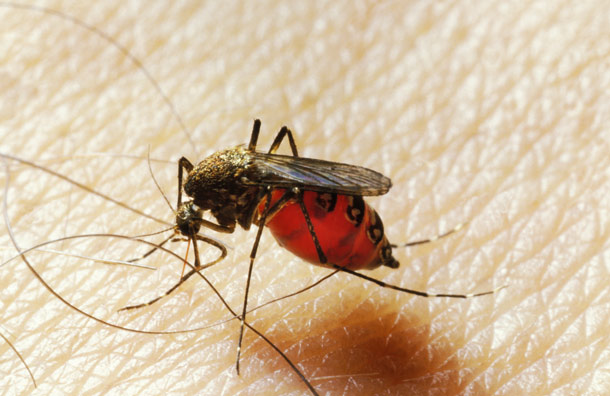 Skin microbes affect humans' attractiveness to mosquitoes