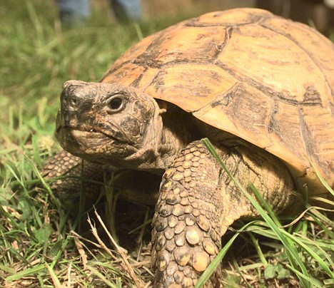 Pet Tortoise Late19th-century tortoise