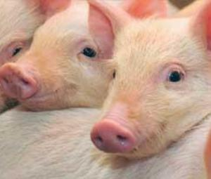 Pig cells could power artificial liver