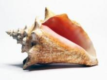 How do conch shells have such huge variety?